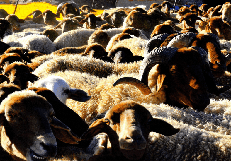 Focus sur la race ovine de Beni Guil